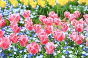 チューリップの花の写真素材 [FYI01816896]