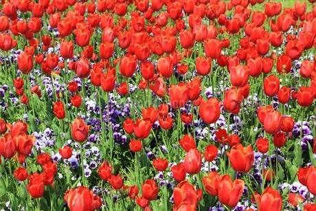 チューリップの花の写真素材 [FYI01816900]