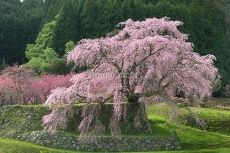又兵衛桜の写真素材 [FYI01816903]
