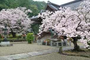 サクラ咲く橘寺の写真素材 [FYI01816908]