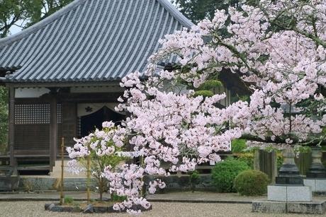 サクラ咲く橘寺の写真素材 [FYI01816915]