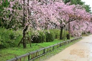 半木の道のベニシダレザクラの写真素材 [FYI01816967]