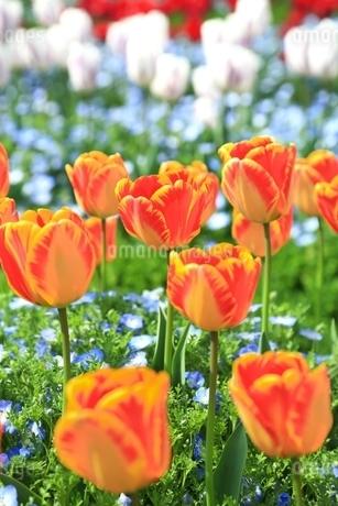 チューリップの花の写真素材 [FYI01816999]
