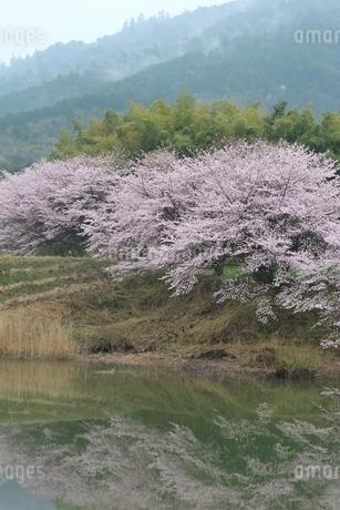 井寺池のサクラと三輪山の写真素材 [FYI01817042]