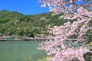 嵐山公園のサクラと渡月橋の写真素材 [FYI01817044]