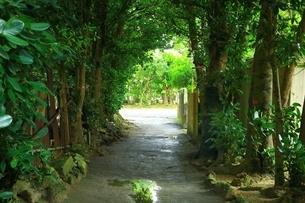 備瀬集落のフクギ並木の写真素材 [FYI01817078]