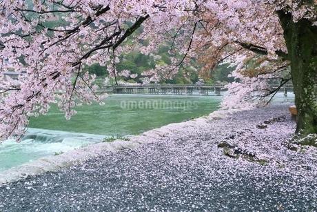 雨の嵐山公園・サクラと渡月橋の写真素材 [FYI01817087]