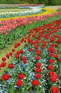 チューリップの花の写真素材 [FYI01817190]