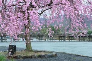 雨の嵐山公園・サクラと渡月橋の写真素材 [FYI01817224]