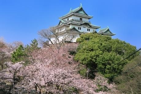 和歌山城天守閣とサクラの写真素材 [FYI01817249]