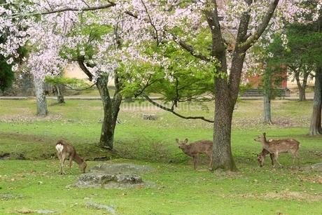 奈良公園のシカとサクラの写真素材 [FYI01817316]