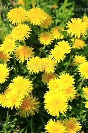 タンポポの花の写真素材 [FYI01817317]