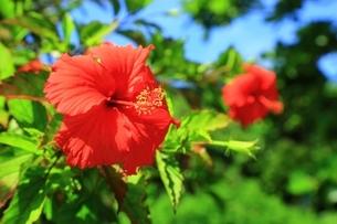ハイビスカスの花の写真素材 [FYI01817341]