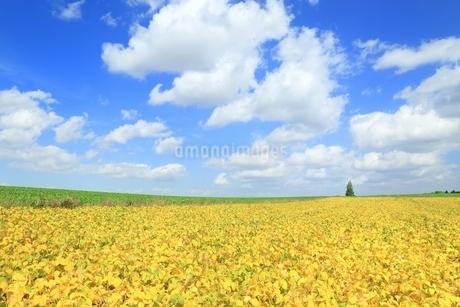 黄色の豆畑と青空に雲の写真素材 [FYI01817350]