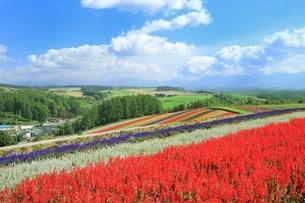 四季彩の丘の花畑の写真素材 [FYI01817352]