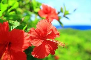 ハイビスカスの花と海の写真素材 [FYI01817367]