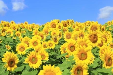 ヒマワリの花畑と青空に雲の写真素材 [FYI01817397]