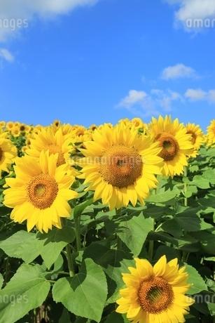 ヒマワリの花畑と青空に雲の写真素材 [FYI01817420]