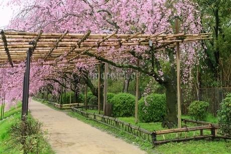 半木の道のベニシダレザクラの写真素材 [FYI01817434]