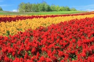 四季彩の丘の花畑の写真素材 [FYI01817438]