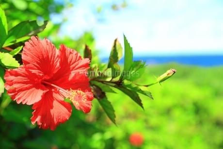 ハイビスカスの花と海の写真素材 [FYI01817443]