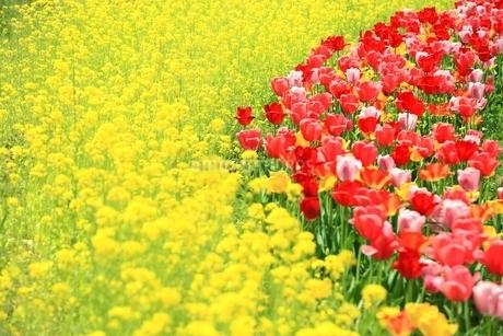 チューリップの花とナノハナの写真素材 [FYI01817473]