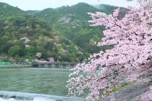 雨の嵐山公園・サクラと渡月橋の写真素材 [FYI01817478]