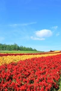 四季彩の丘の花畑の写真素材 [FYI01817524]