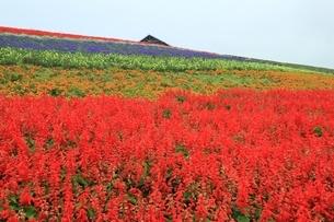 サルビアの花畑の写真素材 [FYI01817539]