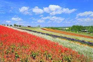 四季彩の丘の花畑の写真素材 [FYI01817600]