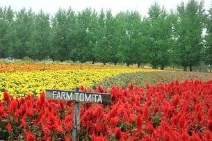 ファーム富田・秋の花畑の写真素材 [FYI01817603]