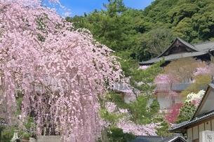 サクラ咲く長谷寺の写真素材 [FYI01817626]