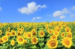ヒマワリの花畑と青空に雲の写真素材 [FYI01817681]