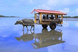 沖縄 西表島 由布島の水牛車の写真素材 [FYI01817687]