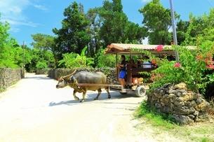 竹富島 ブーゲンビリアの道と水牛車の写真素材 [FYI01817798]