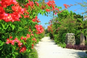 竹富島 ブーゲンビリア咲く白砂の道の写真素材 [FYI01817849]
