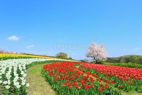 チューリップ畑と桜の写真素材 [FYI01817900]
