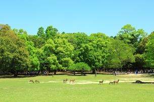 新緑の奈良公園と園児にシカの写真素材 [FYI01817941]