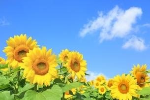 ヒマワリの花畑と青空に雲の写真素材 [FYI01817971]