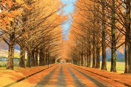 メタセコイヤ並木の紅葉の写真素材 [FYI01818060]