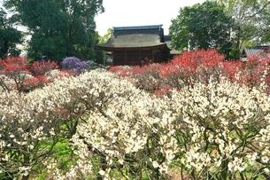 大阪・道明寺天満宮の梅林の写真素材 [FYI01818067]