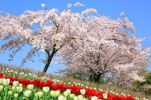 チューリップ畑と桜の写真素材 [FYI01818088]