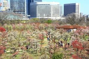 大阪城公園の梅林の写真素材 [FYI01818119]