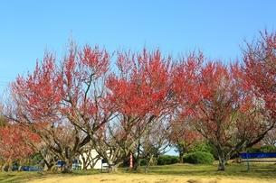 南部梅林 梅公園の写真素材 [FYI01818129]