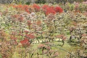 大阪城公園の梅林の写真素材 [FYI01818143]