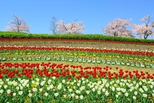 チューリップ畑と桜の写真素材 [FYI01818158]