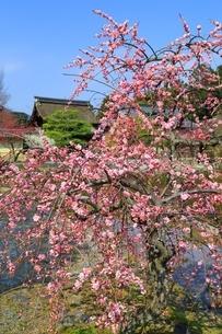 梅宮大社の梅の花の写真素材 [FYI01818166]
