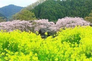 石舞台古墳 サクラと菜の花の写真素材 [FYI01818176]