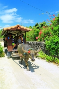 竹富島 ブーゲンビリアの道と水牛車の写真素材 [FYI01818205]