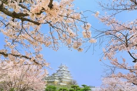 姫路城と桜の写真素材 [FYI01818235]